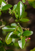 picture of Vaccinium elliottii, image of Vaccinium elliottii, photograph of Vaccinium elliottii