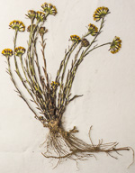 picture of Tussilago farfara, image of Tussilago farfara, photograph of -