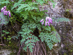 picture of Dicentra eximia, image of Dicentra eximia, photograph of Dicentra eximia