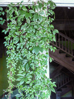 picture of Parthenocissus quinquefolia, image of Parthenocissus quinquefolia, photograph of Parthenocissus quinquefolia