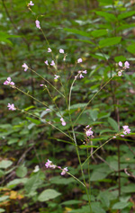 picture of Hylodesmum glutinosum, image of Desmodium glutinosum, photograph of Desmodium glutinosum