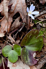 picture of Anemone americana, image of Hepatica nobilis var. obtusa, photograph of Hepatica americana