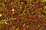 picture of Azolla caroliniana, image of Azolla caroliniana, photograph of Azolla caroliniana