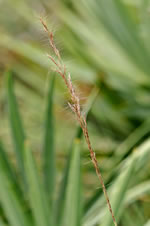 picture of Aristida condensata, image of Aristida condensata, photograph of Aristida condensata