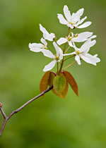 picture of Amelanchier laevis, image of Amelanchier laevis, photograph of Amelanchier arborea var. laevis