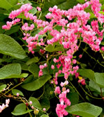 picture of Antigonon leptopus, image of Antigonon leptopus, photograph of -
