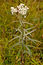picture of Anaphalis margaritacea, image of Anaphalis margaritacea, photograph of -