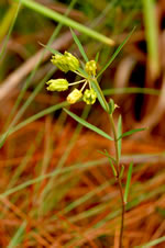 picture of Asclepias pedicellata, image of Asclepias pedicellata, photograph of Asclepias pedicellata