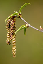 picture of Betula alleghaniensis, image of Betula alleghaniensis var. alleghaniensis, photograph of Betula lutea