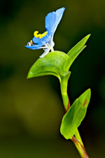 picture of Commelina erecta var. angustifolia, image of Commelina erecta var. angustifolia, photograph of Commelina erecta