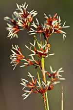picture of Cladium jamaicense, image of Cladium mariscus ssp. jamaicense, photograph of Cladium jamaicense