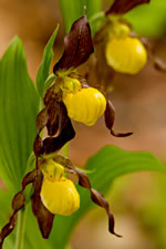 picture of Cypripedium parviflorum var. parviflorum, image of Cypripedium parviflorum var. parviflorum, photograph of Cypripedium calceolus var. pubescens
