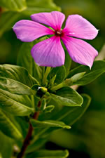 picture of Catharanthus roseus, image of Catharanthus roseus, photograph of Vinca rosea