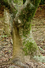 picture of Celtis laevigata, image of Celtis laevigata, photograph of Celtis laevigata