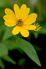 picture of Coreopsis major var. rigida, image of Coreopsis major, photograph of Coreopsis major var. stellata