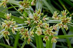 picture of Cyperus virens, image of Cyperus virens, photograph of Cyperus virens