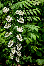 picture of Deutzia scabra, image of Deutzia scabra, photograph of -