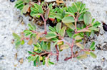 picture of Euphorbia bombensis, image of Chamaesyce bombensis, photograph of Euphorbia ammannioides