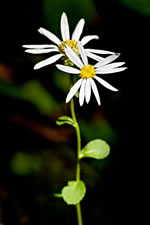 picture of Eurybia mirabilis, image of Eurybia mirabilis, photograph of Aster commixtus