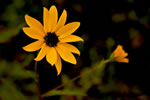 picture of Helianthus agrestis, image of Helianthus agrestis, photograph of -