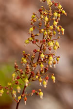 picture of Heuchera americana, image of Heuchera americana var. americana, photograph of Heuchera americana