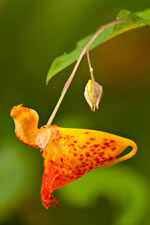 picture of Impatiens capensis, image of Impatiens capensis, photograph of Impatiens capensis