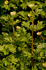 picture of Kallstroemia maxima, image of Kallstroemia maxima, photograph of Kallstroemia maxima