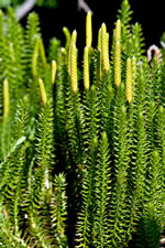 picture of Spinulum annotinum, image of Lycopodium annotinum, photograph of -