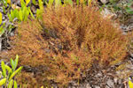 picture of Lechea deckertii, image of Lechea deckertii, photograph of -