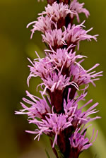 picture of Liatris helleri, image of Liatris helleri, photograph of Liatris helleri