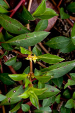 picture of Ludwigia repens, image of Ludwigia repens, photograph of Ludwigia repens