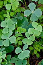 picture of Marsilea minuta, image of Marsilea minuta, photograph of -