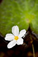 picture of Nymphoides aquatica, image of Nymphoides aquatica, photograph of Nymphoides aquatica