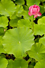 picture of Nelumbo nucifera, image of Nelumbo nucifera, photograph of Nelumbo nucifera
