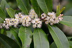 picture of Prunus caroliniana, image of Prunus caroliniana, photograph of Prunus caroliniana