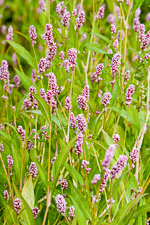 picture of Persicaria maculosa, image of Polygonum persicaria, photograph of Polygonum persicaria