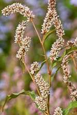 picture of Persicaria pensylvanica, image of Polygonum pensylvanicum, photograph of Polygonum pensylvanicum
