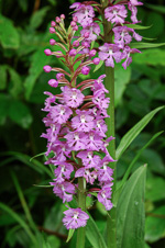 picture of Platanthera psycodes, image of Platanthera psycodes, photograph of Habenaria psycodes var. psycodes