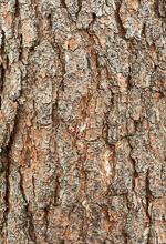 picture of Pinus clausa, image of Pinus clausa, photograph of -