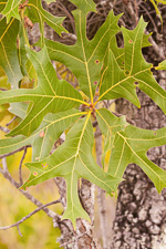 picture of Quercus laevis, image of Quercus laevis, photograph of Quercus laevis