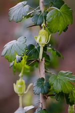 picture of Ribes echinellum, image of Ribes echinellum, photograph of Ribes echinellum