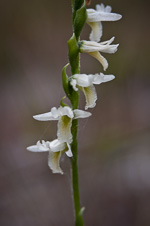 picture of Spiranthes longilabris, image of Spiranthes longilabris, photograph of Spiranthes longilabris