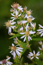 picture of Symphyotrichum lowrieanum, image of Symphyotrichum lowrieanum, photograph of Aster cordifolius