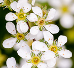 picture of Spiraea thunbergii, image of Spiraea thunbergii, photograph of -