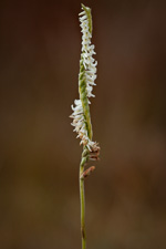 picture of Spiranthes vernalis, image of Spiranthes vernalis, photograph of Spiranthes vernalis