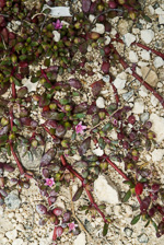 picture of Sesuvium portulacastrum, image of Sesuvium portulacastrum, photograph of Sesuvium portulacastrum