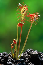 picture of Drosera intermedia, image of Drosera intermedia, photograph of Drosera intermedia