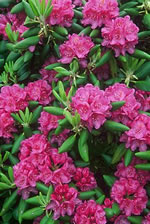 picture of Rhododendron catawbiense, image of Rhododendron catawbiense, photograph of Rhododendron catawbiense