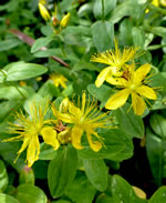 picture of Hypericum mitchellianum, image of Hypericum mitchellianum, photograph of Hypericum mitchellianum