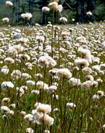 picture of Eriophorum virginicum, image of Eriophorum virginicum, photograph of Eriophorum virginicum